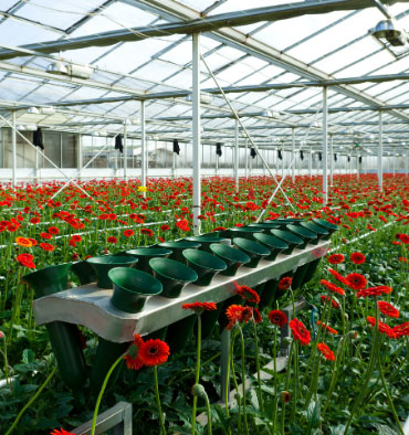 flower Harvesting machineries for floriculture greenhouses