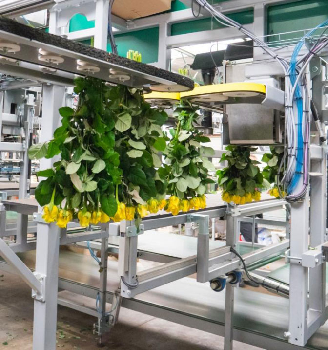 Flower Processing machineries for floriculture greenhouses
